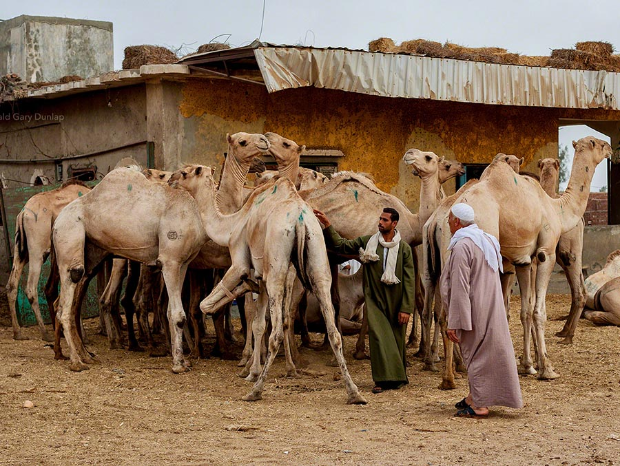 Camels Market Tour in Egypt